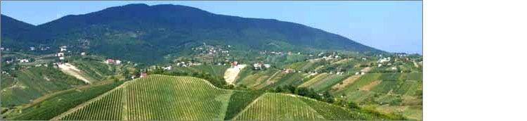 plesivica-vignes